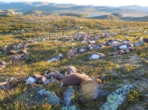 Over 300 wild reindeer killed by lightning