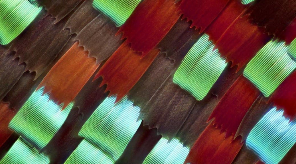 butterfly-wing-scales-at-50x-magnification